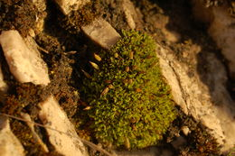 Image of common candle snuffer moss