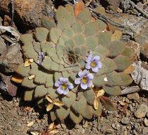 Image of <i>Viola rosulata</i> Poepp. & Endl.