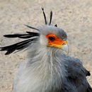 Image of Secretarybird
