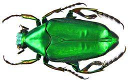Image of <i>Pseudochalcothea planiuscula</i> (Bates 1889)