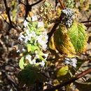 Image of <i>Minthostachys spicata</i> (Benth.) Epling