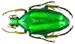 Image of <i>Pseudochalcothea auripes</i> (Westwood 1874)