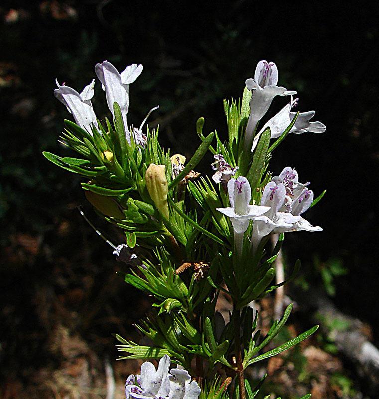 Image of <i>Lepechinia chamaedryoides</i> (Balb.) Epling