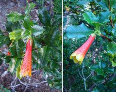 Image of <i>Desfontainia fulgens</i> D. Don