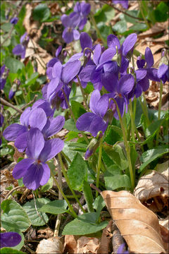 Image of <i>Viola pyrenaica</i> Ramond ex DC.
