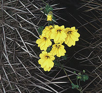 Image of <i>Tropaeolum <i>hookerianum</i></i> ssp. hookerianum