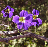 Image of Blue Nasturtium