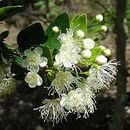 Image of <i>Amomyrtus meli</i> (Phil.) D. Legrand & Kausel