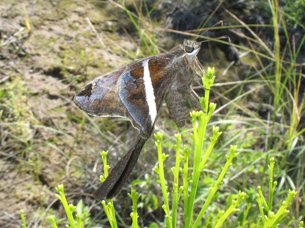 Image of <i>Chioides catillus albofasciatus</i>