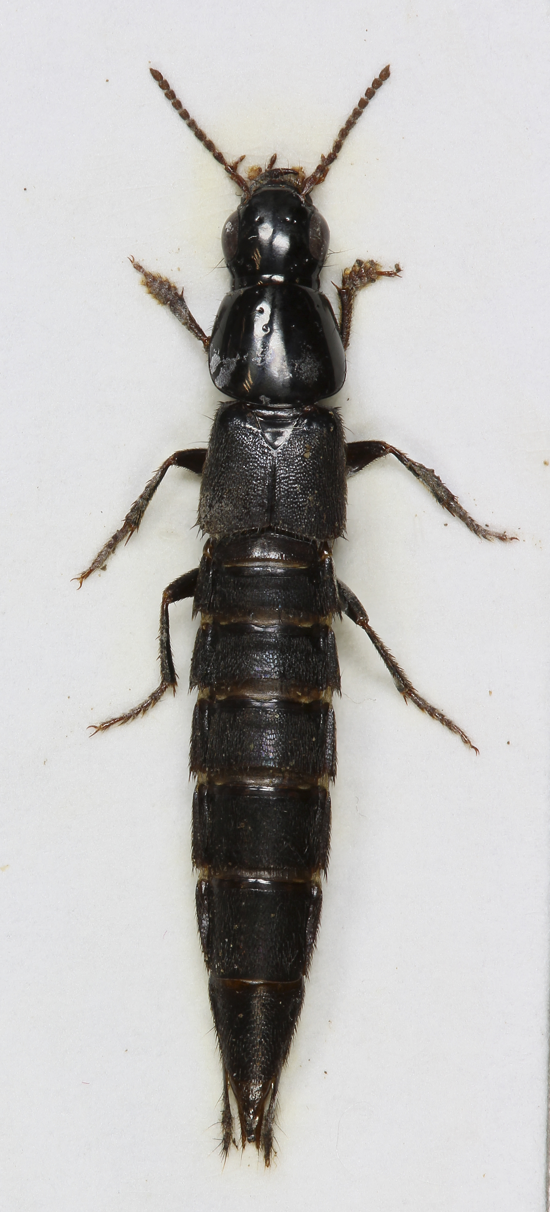 Image of Large rove beetle