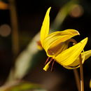 Image of dogtooth violet