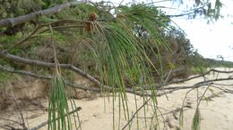 Image of <i>Casuarina equisetifolia</i> ssp. <i>incana</i> (Benth.) L. A. S. Johnson