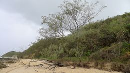 Image of <i>Casuarina equisetifolia</i> ssp. <i>incana</i> (Benth.) L. A. S. Johnson
