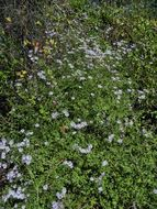 Image of climbing aster