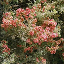 Image of South American saltbush