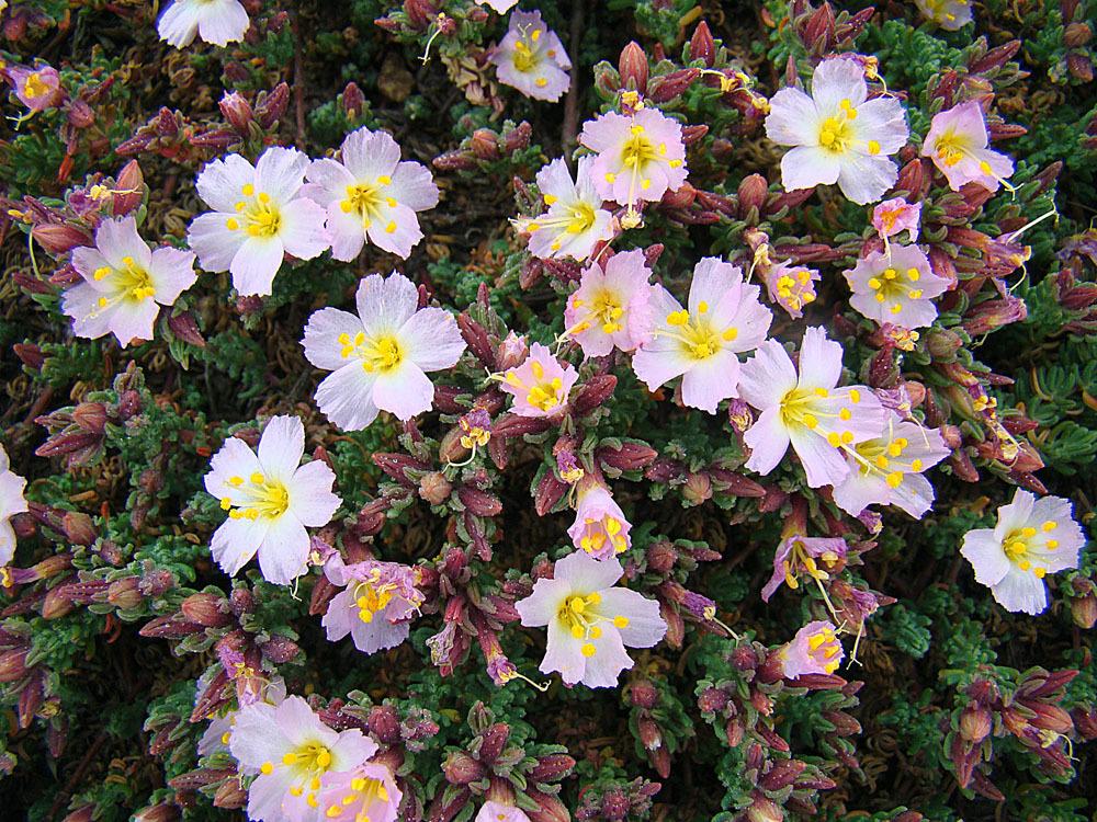 Image of <i>Frankenia chilensis</i> Presl