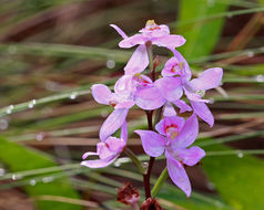Image of Many-flowered grass-pink orchid