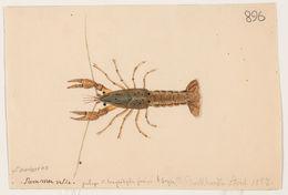 Image of <i>Cambarus troglodytes junior</i>