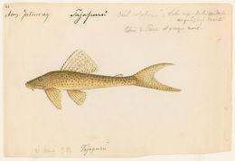 Image of <i>Hypostomus emarginata</i>