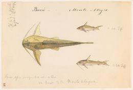 Image of <i>Centrodoras brachiatus</i> (Cope 1872)