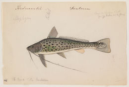 Image of <i>Aguarunichthys torosus</i> Stewart 1986