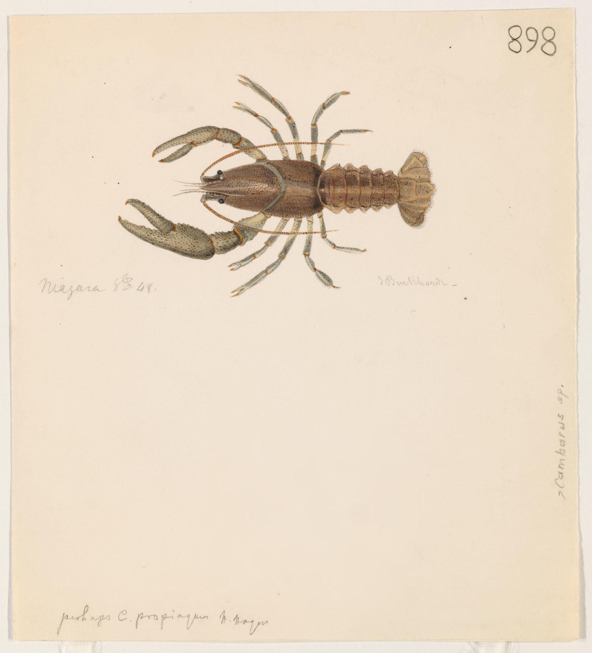 Image of <i>Cambarus propinquum</i>