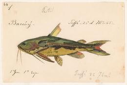 Image of <i>Anadoras grypus</i> (Cope 1872)