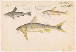 Image of <i>Lithodoras dorsalis</i> (Valenciennes 1840)