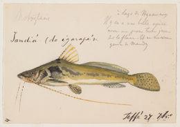 Image of <i>Goeldiella eques</i> (Müller & Troschel 1849)
