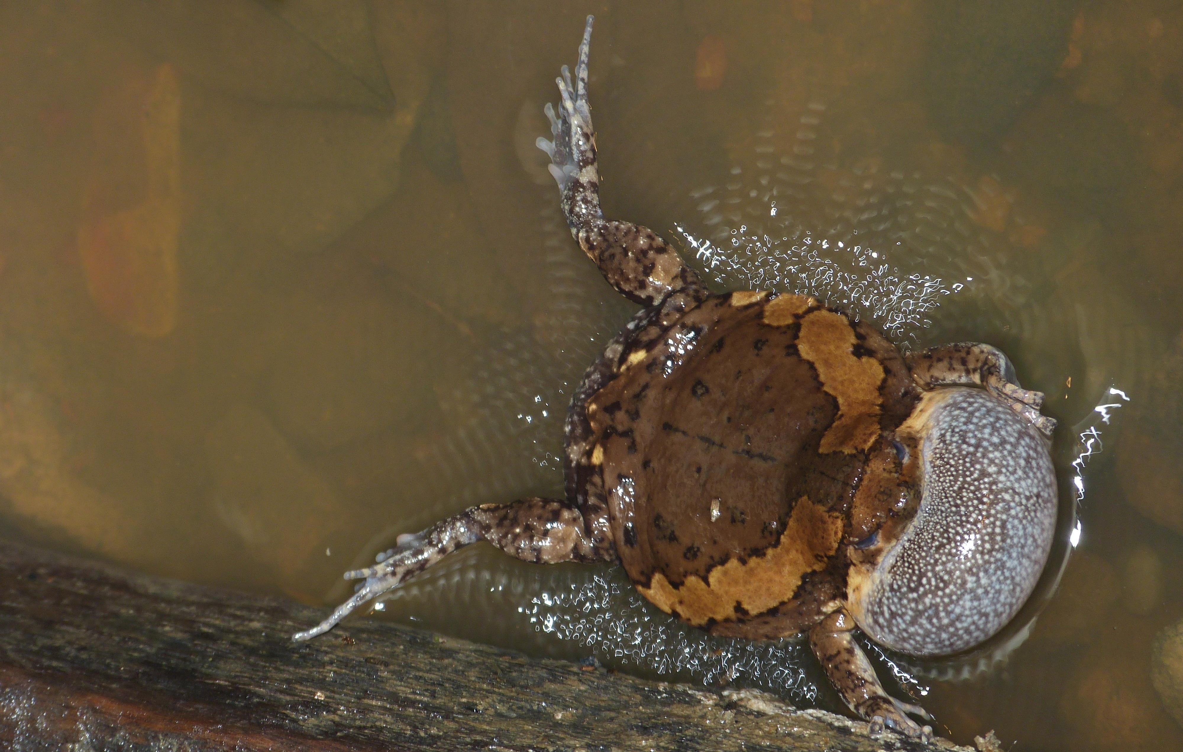 Image of Banded Bullfrog