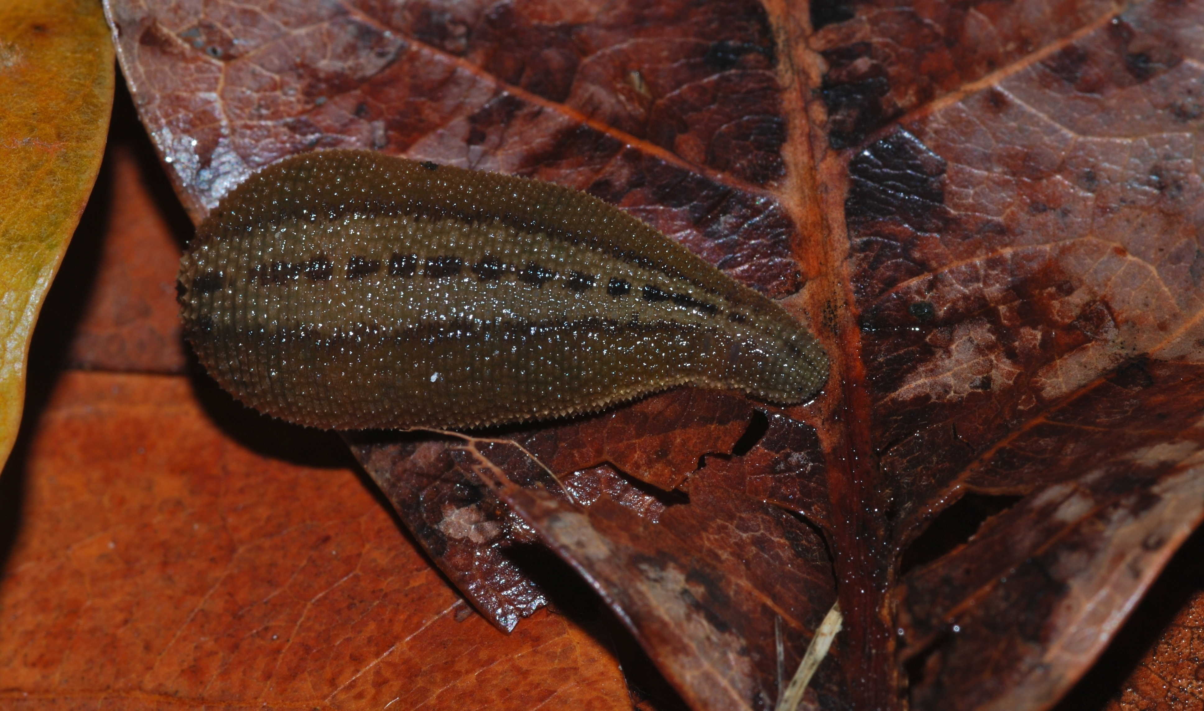 Image of Brown Leech