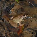 Image of Blyth's River Frog