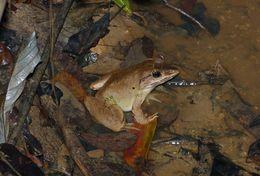 Image of Blyth's River Frog