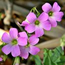 Image of pink woodsorrel