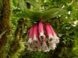 Image of <i>Bomarea pardina</i> Herb.