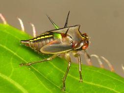 Image of <i>Alchisme grossa</i> Fairmaire