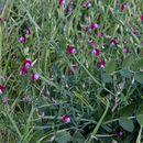Image of cicercha purpurina