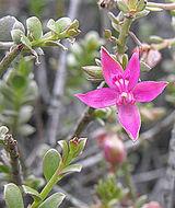 Image of <i>Krameria cistoidea</i> Hook. & Arn.