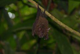 Image of Lesser Woolly Horseshoe Bat