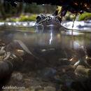 Image of pickerel frog