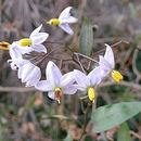 Image of <i>Solanum krauseanum</i> Phil.