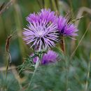 Image of Boar Thistle