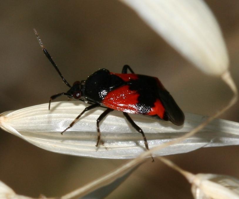 Image of <i>Deraeocoris rutilus</i> (Herrich-Schaeffer 1838)