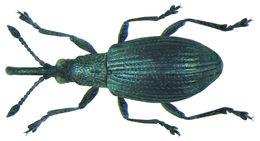 Image of Artichoke Pear-shaped Weevil