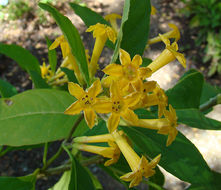 Image of Chilean jessamine