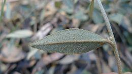 Image of Large-flowered Mirbelia