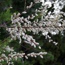 Image of <i>Tamarix canariensis</i> Willd.
