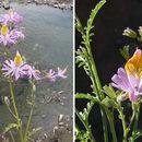 Image of <i>Schizanthus hookeri</i> Gill. ex R. Grah.