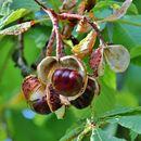 Image of European Horse-chestnut