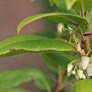 Image of Florida hobblebush